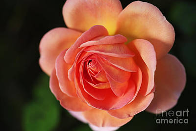 Photograph - Twirl Around Rose by Joy Watson
