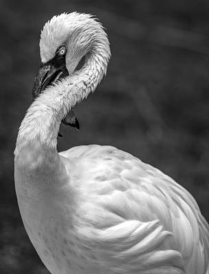 Photograph - Twisted Albino Flamingo by Wes and Dotty Weber