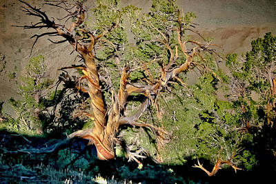Photograph - Twisted Bristlecone by Albert Seger