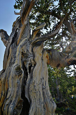 Photograph - Twisted Bristlecone Pine On Mt. Goliath by Ray Mathis