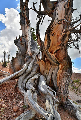 Photograph - Twisted Forest Giant by Ray Mathis
