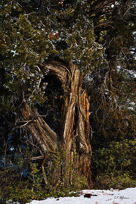 Photograph - Twisted Juniper by Christopher Holmes