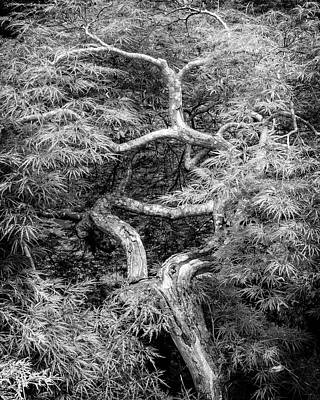 Photograph - Twisted Maple by Alan Raasch