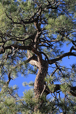 Photograph - Twisted Pine Tree by Pierre Leclerc Photography