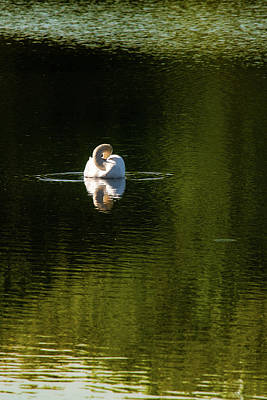 Photograph - Twisted Swan by Onyonet  Photo Studios