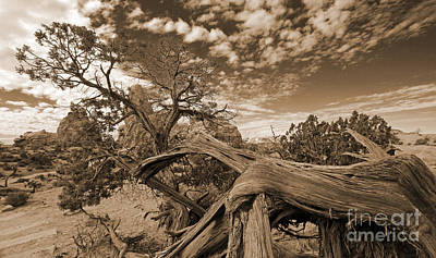 Photograph - Twisted Tree In Sepia by Mary Haber