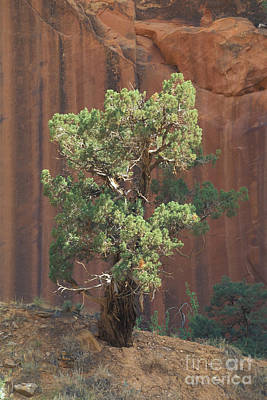Photograph - Twisted Tree In Zion by Stan and Anne Foster