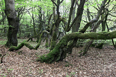 Photograph - Twisted Trunks Of Beech Trees - Old Beech Forest by Michal Boubin