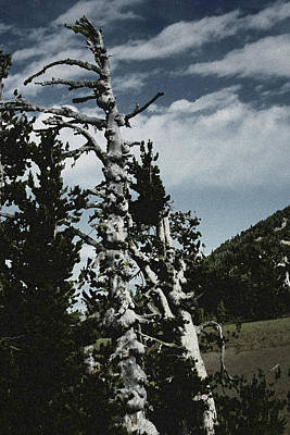 Nature Scene Photograph - Twisted Whitebark Pine Tree - Crater Lake - Oregon by Christine Till