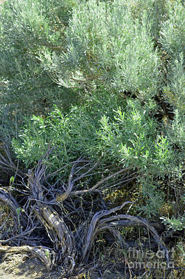 Photograph - Twisted Wild Brush  by Carol Eliassen