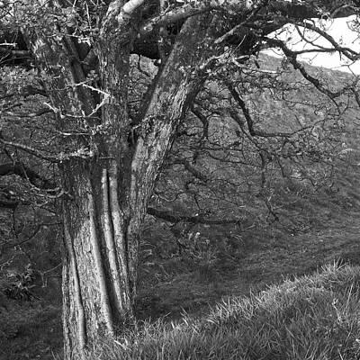 Photograph - Twisting Hawthorn by Bear R Humphreys