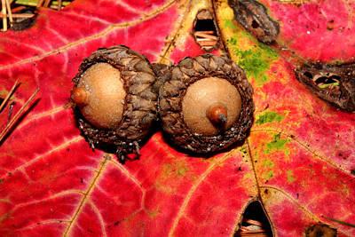 Two Acorns On Tatterd Maple Leaf 2 Art Print by Robert Morin