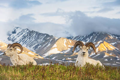 Two Adult Dall Sheep Rams Resting Print by Michael Jones