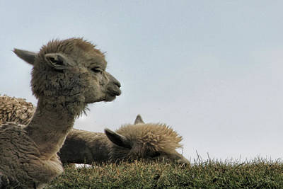 Photograph - Two Alpaca by Pat Cook