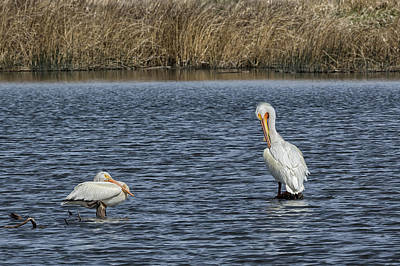 Soap Suds - Two American White Pelicans by Belinda Greb
