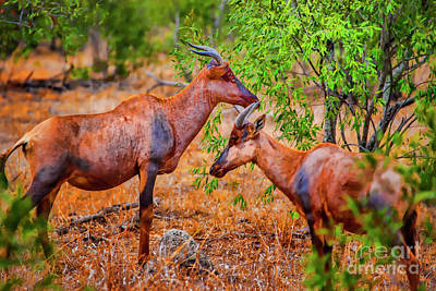 Photograph - Two Antelope by Rick Bragan