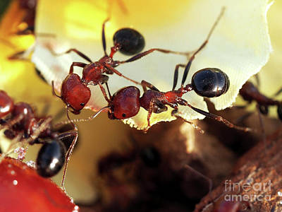 Photograph - Two Ants In Sunny Day by Nika Lerman