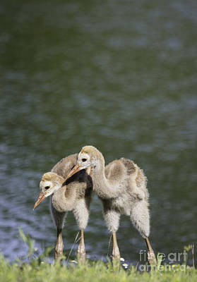 Photograph - Two Baby Sandhill Cranes by Jeannette Hunt