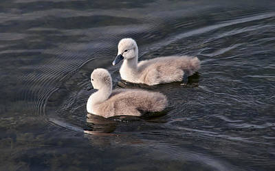 Two Baby Swans Original