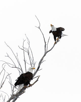 Bald Eagles Photograph - Two Bald Eagles by Gary Langley