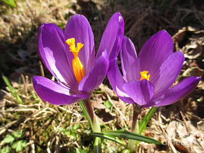 Photograph - Two Beautiful Crocuses by Martin Howard