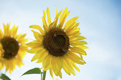 Photograph - Two Bees Enjoying A Sunflower by Anthony Doudt