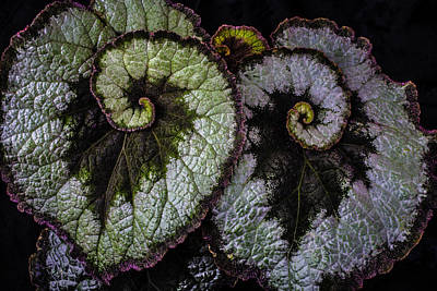 Begonia Photograph - Two Begonia Leaves by Garry Gay