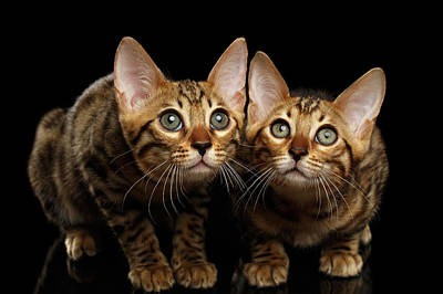 Two Bengal Kitty Looking In Camera On Black Art Print