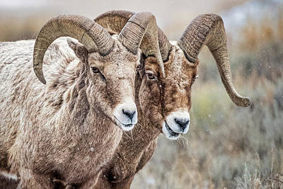 Photograph - Two Bighorn Sheep  by Stuart Litoff