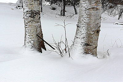 Photograph - Two Birches by Suzanne DeGeorge