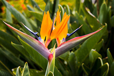 Photograph - Two Bird Of Paradise Flowers - Oahu, Hawaii by Brian Harig