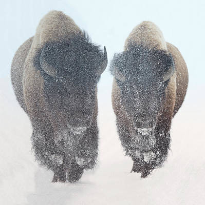 Digital Art - Two  Bison In Snow At Yellowstone Park By Olena Art by OLena Art Brand