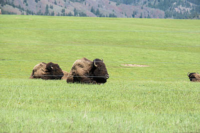 Photograph - Two Bison by Tom Cochran