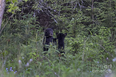 Photograph - Two Black Bear Cubs Playing by Dan Friend