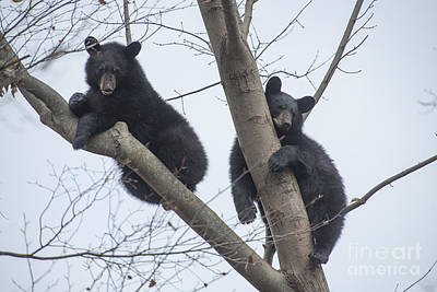 Photograph - Two Black Bears Resting In Tree by Dan Friend