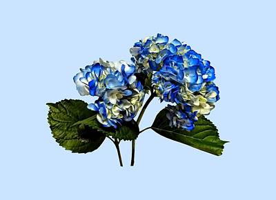 Two Blue Hydrangea With Leaves Art Print