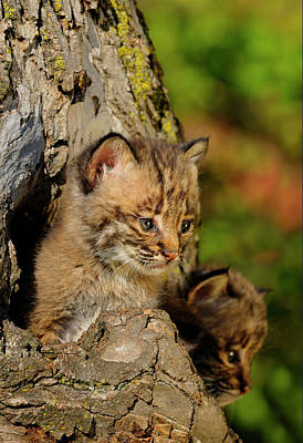 Lynx Photograph - Two Bobcat Kittens Peeking Out From The Hollow Of A Tree In Autu by Reimar Gaertner
