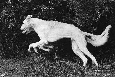 Two Borzoi Russian Wolfhounds Leaping Art Print