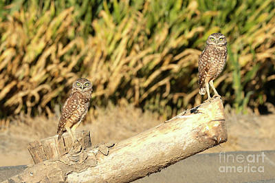 Photograph - Two Bright Burrowing Owls by Carol Groenen