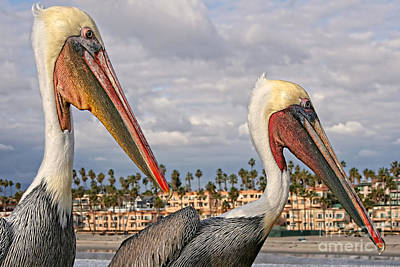 Photograph - Two Brown Pelicans Side View by Gabriele Pomykaj