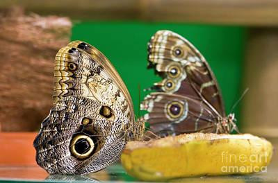 Photograph - Two Butterflies On Banana by Irina Afonskaya