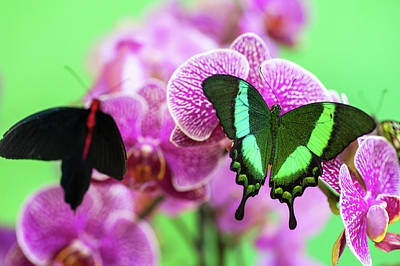 Royalty-Free and Rights-Managed Images - Two Butterflies on Purple Orchids by Jenny Rainbow