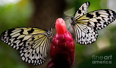 Photograph - Two Butterflies by Sue Harper