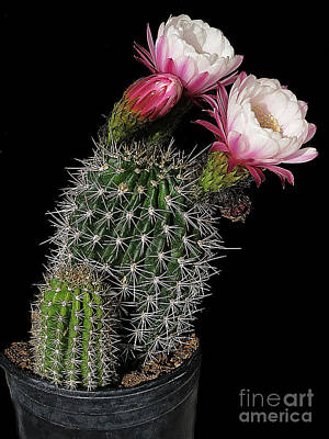 Photograph - Two Cactus Flowers And A Bud by Merton Allen