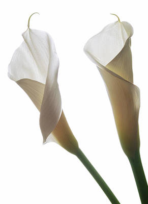 Two Calla Lilies Art Print