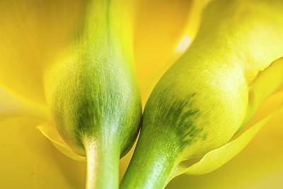 Photograph - Two Calla Lily Stems by Teri Virbickis