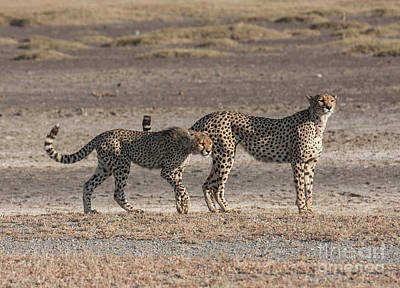 Photograph - Two Cheetahs by Chris Scroggins