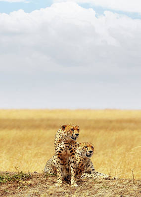 Mammals Royalty-Free and Rights-Managed Images - Two Cheetahs in Africa - Vertical with Copy Space by Susan Schmitz