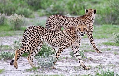 Photograph - Two Cheetahs, Namibia Wildlife by Wibke W
