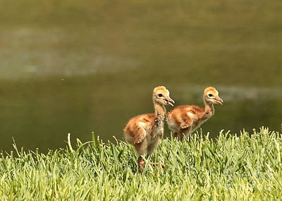 Photograph - Two Chicks by Carol Groenen